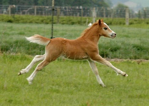 Lochinvar Picasso Red, on the run!